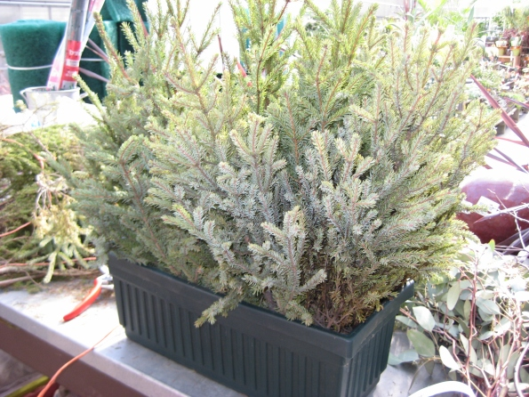 Container filled with window box size spruce tips.
