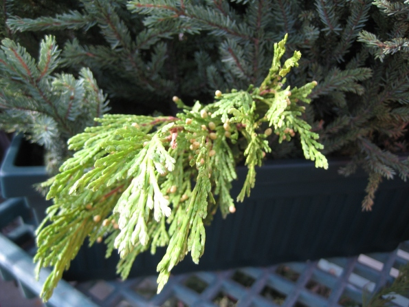 Incense Cedar boughs add texture and a lovely draping look.