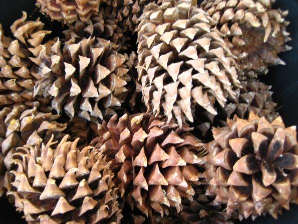 Digger Pine cones